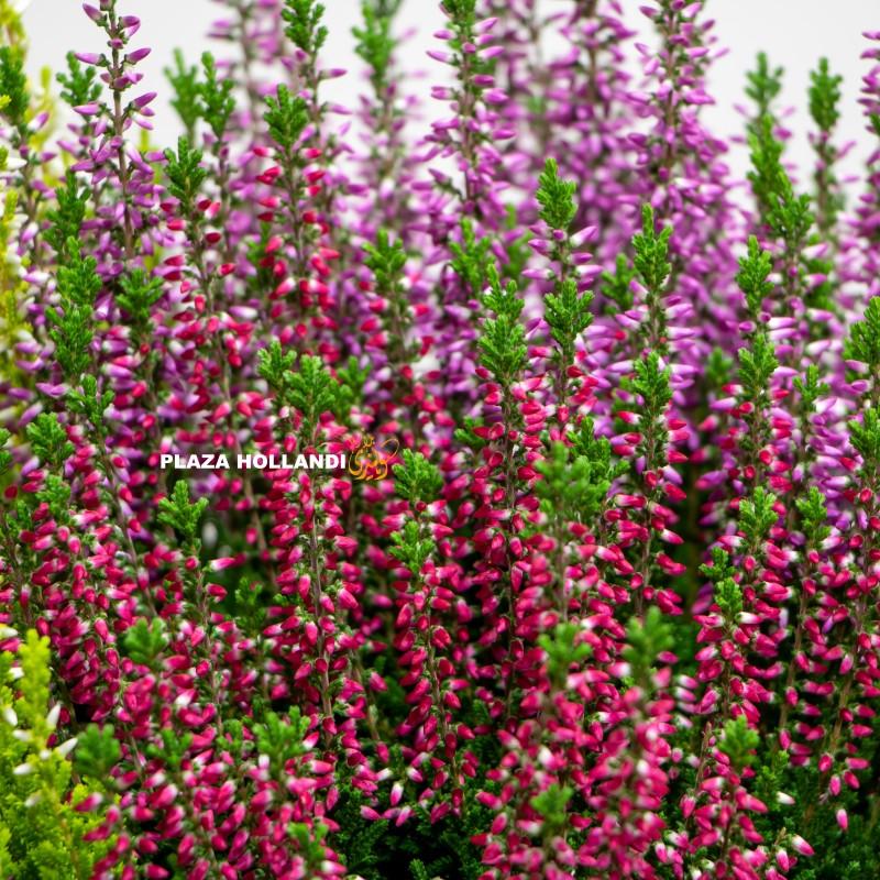 Pink heather plant