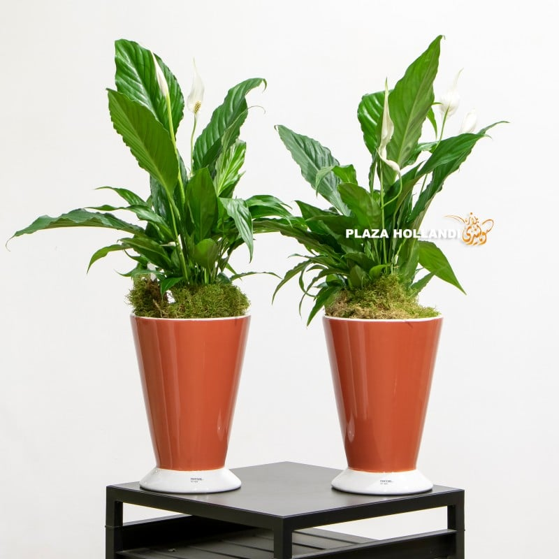 Orange planters with peace lily plants