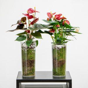 Two anthurium plants