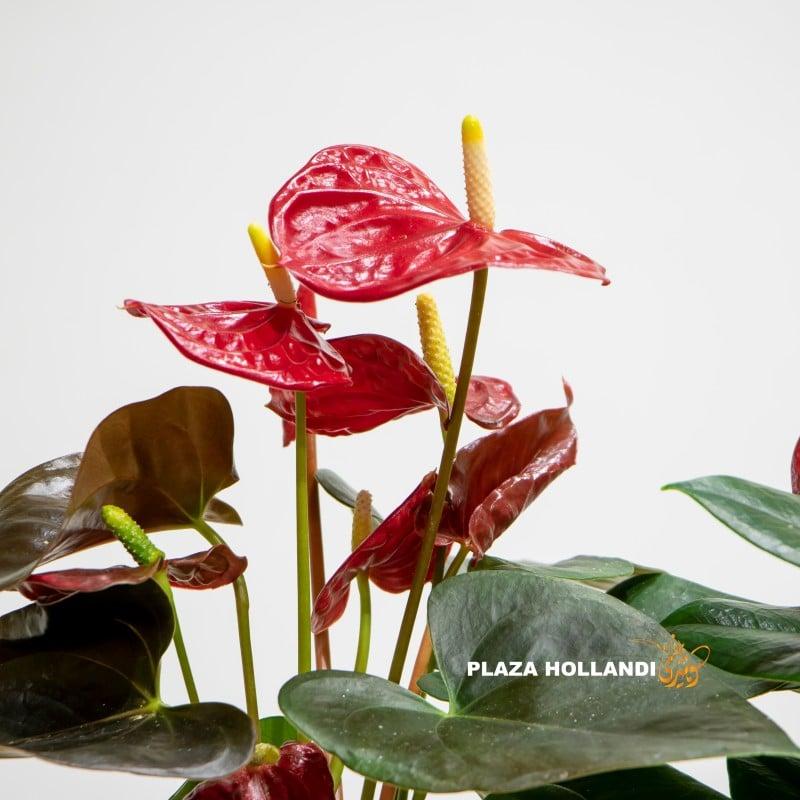 close up of anthurium plants