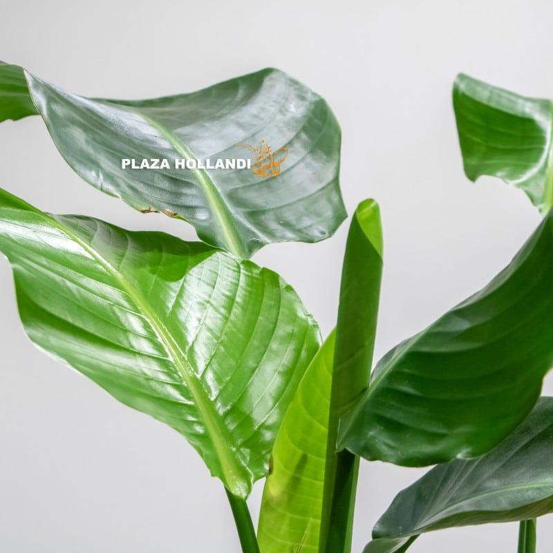 Strelitzia plant leaf