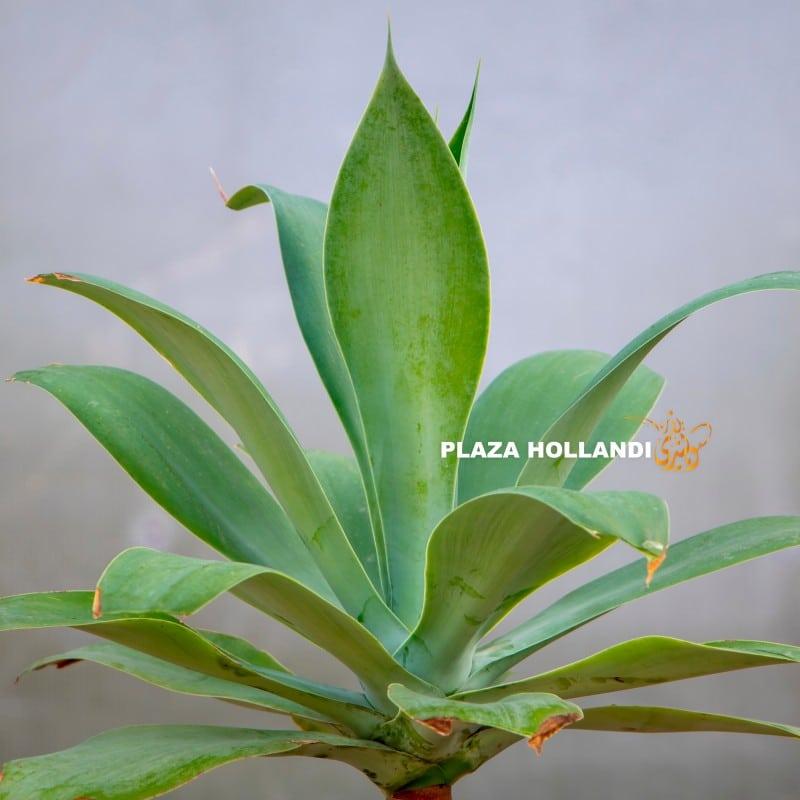 Agave Attenuata plant