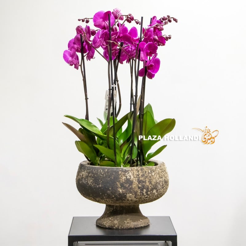 Purple phalaneopsis orchid plant in a pot