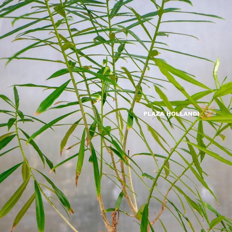 Thevetia peruviana plant
