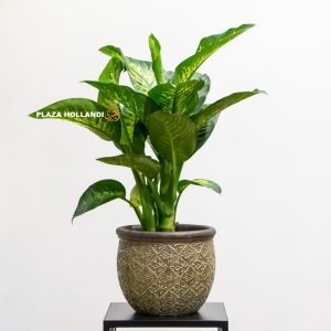 Dieffenbachia plant in pot