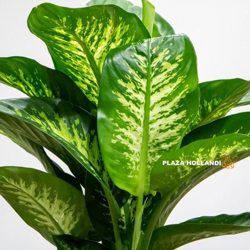 close up of dieffenbachia plant